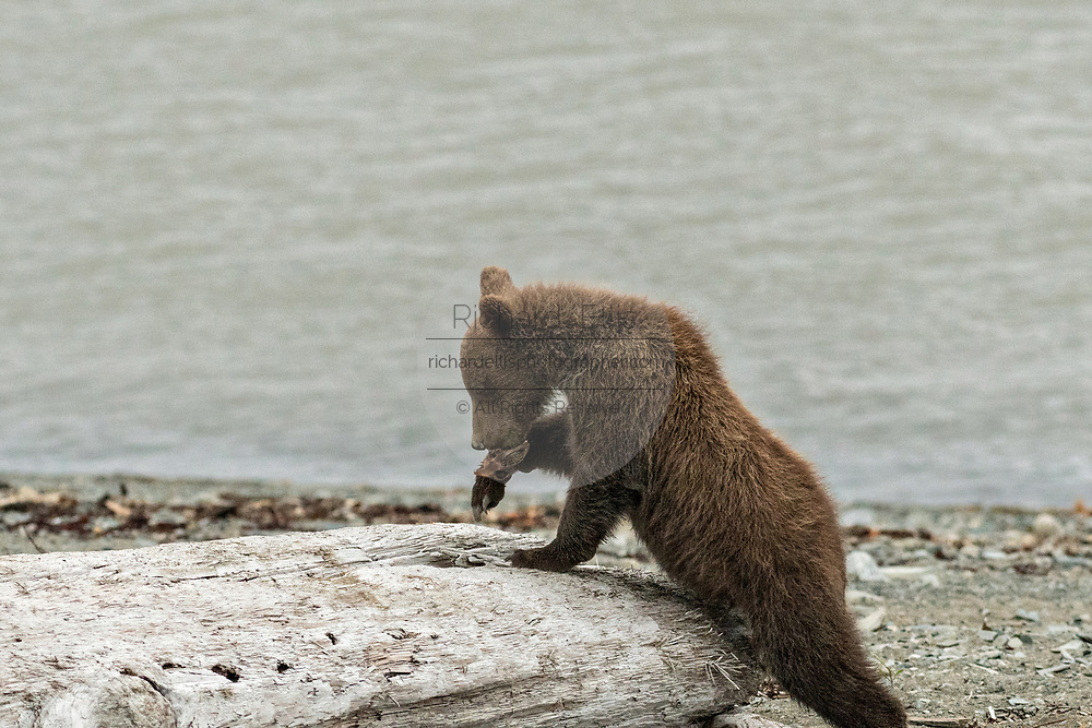 A brown bear spring cub plays on the beach along the Cook Inlet at the McNeil River State Game Sanctuary on the Kenai Peninsula, Alaska. The remote site is accessed only with a special permit and is the world's largest seasonal population of grizzly bears in their natural environment.