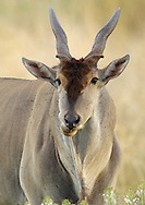 Eland antelope, Taurotragus oryx, Tarangire NP, Tanzania