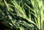 Close up selective focus photograph of Rosemary stems in the sunlight