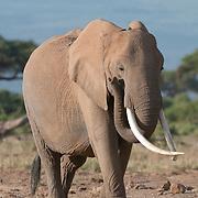African Elephant (Loxodonta africana) in Amboseli National Park, Kenya, Africa.