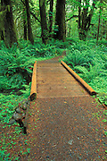 Wooden foot bridge and trail in the Quinault Rain Forest, Olympic National Park, Washington USA
