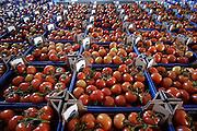 Nederland, Bemmel, 31-3-2005..In Bergerden, tussen Bemmel en Huissen zijn een tiental grote, nieuwe, hypermoderne tuinbouw bedrijven in bedrijf genomen...Verregaand geautomatiseerd, deels biologisch en energie zuinig. Kas, Kastuinbouw, economie, innovatie, vernieuwing...Tomaten, tomaat, groente en fruit, transport, klaar voor vervoer...Foto: Flip Franssen/Hollandse Hoogte