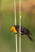 A Yellow Headed Blackbird in the reeds of a slough on the Colorado River at Blythe, California.