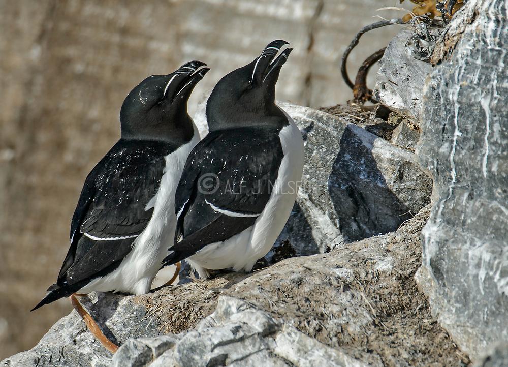 Pair of razorbills preparing to nest in the bird cliff of Hornøya, Finnmark, Norway.