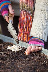 Planting garlic cloves. Allium sativum