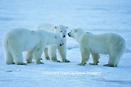 01874-10119 Polar Bears (Ursus maritimus)  Churchill MB