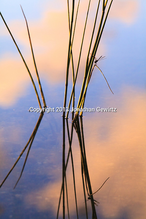 A dragonfly rests on pond reeds at Long Pine Key in Everglades National Park, Florida. WATERMARKS WILL NOT APPEAR ON PRINTS OR LICENSED IMAGES.