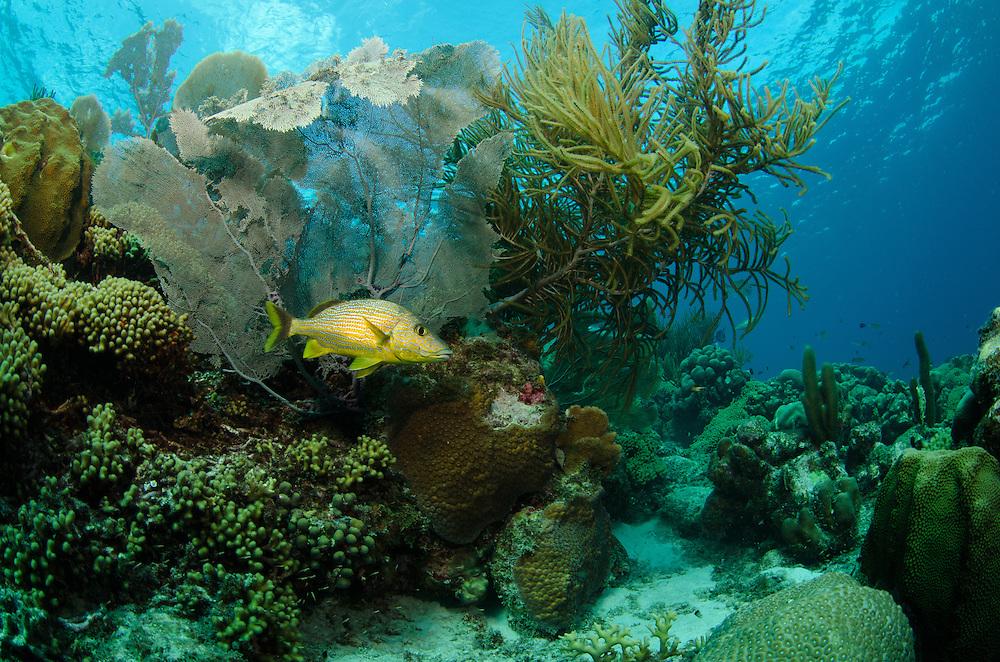 Bonaire Marine Park, Caribbean, Bluestripe Grunt