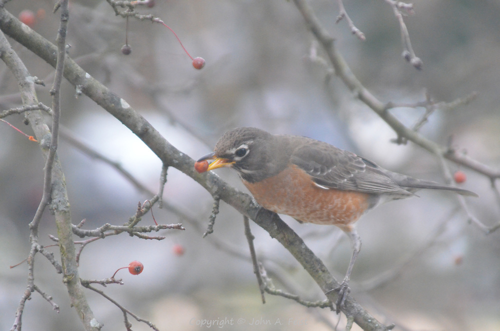 The robin was on a branch outside my window enjoying a snack.  Hillsborough, NJ