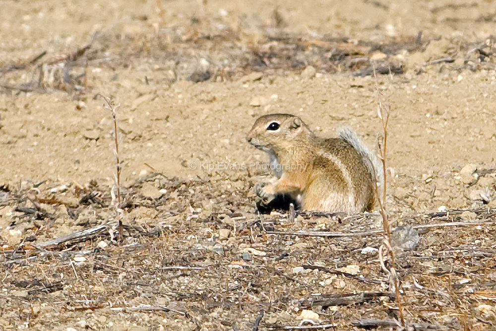 Antelope Ground Squirrel, Carrizo Plain, CA.