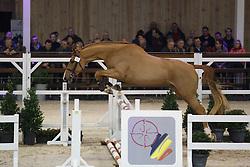 042 - Migo Van Bertheim<br /> Hengstenkeuring BWP - Azelhof - Koningshooikt 2015<br /> ©  Dirk Caremans
