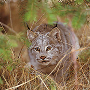 Canada Lynx, (Lynx canadensis) Montana. Hunting in underbrush.  Captive Animal.