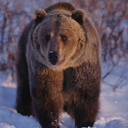 Grizzly bear in the Rocky Mountains. Captive Animal