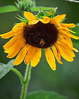 Sunflower flower. Image taken with a Leica SL2 camera and Sigma 100-400 mm lens