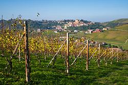 THEMENBILD - Weinberge rund um Castellinaldo d'Alba. Castellinaldo ist ein Dorf im Herzen des Roero-Bezirks. Das Dorf umgibt die Burg aus dem 16. Jahrhundert, die die Häuser darunter überragt. Die Pfarrkirche San Dalmazzo, die Kirche des Heiligen Leichentuchs und die Casa Cottalord, auch bekannt als Casa Rossa (das Rote Haus). In der Gegend gibt es eine Vielzahl hochwertiger Produkte: Pilze, Trüffel, Honig und zahlreiche Sorten Pfirsiche, Birnen, Erdbeeren, Kastanien und Spargel. Castellinaldo, Italien am Mittwoch, 9. November 2019 // Vineyards arround Castellinaldo d'Alba. Castellinaldo is a village in the heart of the Roero district. The village surrounds the 16th-century castle, which overlooks the houses below. The parish church of San Dalmazzo, the Church of the Holy Shroud and Casa Cottalord, also known as Casa Rossa (the Red House). In the area there are a variety of high quality products: mushrooms, truffles, honey and numerous varieties of peaches, pears, strawberries, chestnuts and asparagus. Saturday, November 9, 2019 in Castellinaldo, Italy. EXPA Pictures © 2019, PhotoCredit: EXPA/ Johann Groder