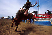 18 MAY 2002 --MILES CITY, MONTANA, USA: Nancy Ayres, a cowgirl from Montana and one of the few women to compete in men?s rodeo, bucks out a horse at the Miles City Bucking Horse Sale in Miles City, MT. The sale is a virtual marathon of bucking, many of the cowboys ride 4 or five horses per day.  The MCBHS is the largest auction of rodeo roughstock in the US. More than 250 horses and 30 bulls are bucked and sold during the sale, which is also a huge tourist draw and the largest community gathering in eastern Montana. most of the competitors are young cowboys from Montana and Wyoming trying to break into the rodeo circuits. PHOTO BY JACK KURTZ  LIFESTYLE  CULTURE  SPORTS  TOURISM
