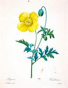 19th-century hand painted Engraving illustration of a yellow poppy (papaver) flower and bud, by Pierre-Joseph Redoute. Published in Choix Des Plus Belles Fleurs, Paris (1827). by Redouté, Pierre Joseph, 1759-1840.; Chapuis, Jean Baptiste.; Ernest Panckoucke.; Langois, Dr.; Bessin, R.; Victor, fl. ca. 1820-1850.