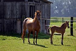 Merrie veulen van <br /> Calypso van de Vondelhoeve x Casapaya<br /> Pony fokkerij Van de Vondelhoeve - Lebbeke 2005<br /> Photo © Hippo Foto