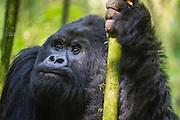 Close-up portrait of a black-back mountain gorilla vocalizing (Gorilla beringei beringei) in the forest, Parc de Volcanos, Rwanda, Africa