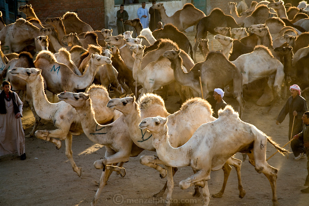 Camels hop around on just three legs at the Birqash Camel Market outside Cairo, Egypt, where camel broker Saleh Abdul Fadlallah works. (From the book What I Eat: Around the World in 80 Diets.) Domesticated since 2000 BC, camels are used less as beasts of burden now, and more for their meat. Because they can run up to 40 miles per hour for short bursts, dealers hobble one leg when they are unloaded at the Birqash market. They are marked with painted symbols to make them easier for buyers and sellers to identify. Both brokers and camels have a reputation for being surly, and the brokers don't hesitate to flail the camels with their long sticks to maintain their dominance.