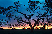 PORTUGAL, ALENTEJO REGION Olive trees at sunset