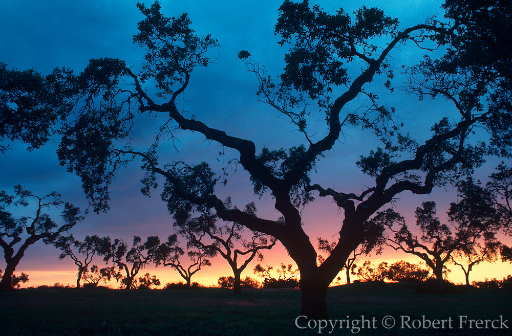 PORTUGAL, ALENTEJO REGION Olive trees at sunset