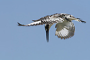Pied Kingfisher (Ceryle rudis) hovering over a pond in search of fish