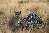 Pumas & Patagonia