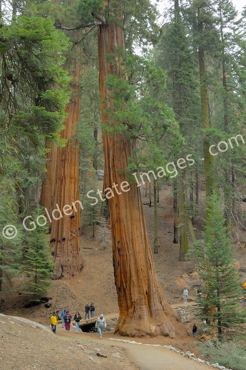 Park visitors in the Giant Grove Sequoia National Park.    <br /> <br /> Species: Sequoiadendron giganteum