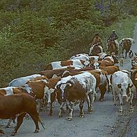 Chilean cowboys (huasos) herd cattle along new Pinochet highway near Cochrane, in Patagonia.