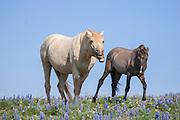 Wild mustang stallion in Montana