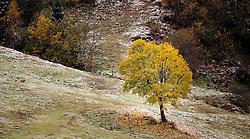 THEMENBILD - ein herbstlich gefärbter Baum auf einem Berghang, aufgenommen am 17. Oktober 2015, Ferleiten, Österreich // an autumnal tree on a hillside, Ferleiten, Austria on 2015/10/17. EXPA Pictures © 2015, PhotoCredit: EXPA/ JFK