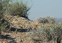Desert cottontail, Silvilagus audubonii, Red Rock Canyon State Park, California