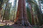 Side view of the General Sherman Seuqoia tree, Sequoia National Park, General Sherman Grove, Tulare County, California, USA.