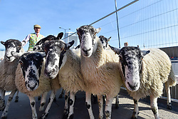 © Licensed to London News Pictures. 24/09/2017. London, UK. The annual Sheep Drive by the Worshipful Company of Woolmen takes place across London Bridge.  The event raises funds for the Lord Mayor's Appeal and the Woolmen's Charitable Trust. Photo credit : Stephen Chung/LNP