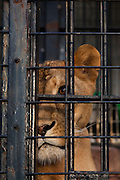A caged lioness behind bars in Nogeyama Zoo in Yokohama, Japan. Friday October 5th 2012