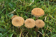 earthy powdercap<br /> Cystoderma amianthinum