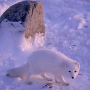 Arctic Fox (Alopex fulva) Adult. Churchill, Manitoba. Canada.