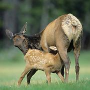 Elk (Cervus canadensis) calf nursing in a meadow during early summer in Wyoming.
