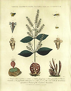 Chrysis (wasp), Clathrus (fungi), Clava (hydrozoa), Clavaria (fungi), Clio (Sea snail) and Combretum (Combretaceae) Handcolored copperplate engraving From the Encyclopaedia Londinensis or, Universal dictionary of arts, sciences, and literature; Volume IV;  Edited by Wilkes, John. Published in London in 1810