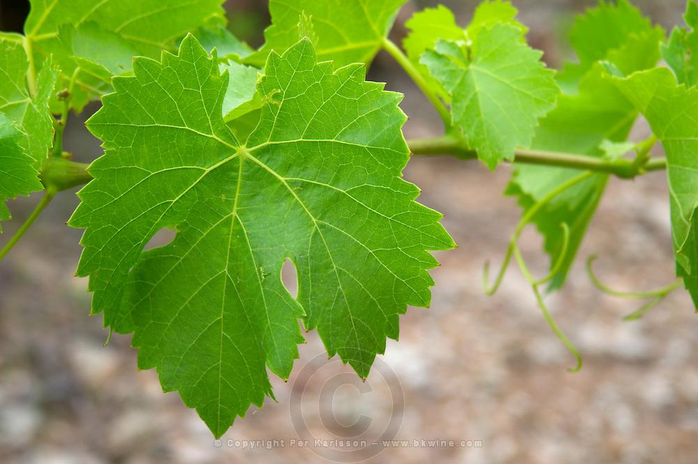 Vine leaf. Grenache. Domaine Boucabeille, Corneilla la Riviere, Roussillon, France