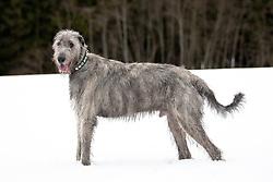 THEMENBILD - Irischer Wolfshund. Der Irische Wolfshund ist ein sanftmütiger Riese und deshalb trotz seiner imposanten Größe hauptsächlich ein Familienhund. Seinen Ursprung als Windhund für die Jagd kann er beim Geländerennen (Coursing) oder auf der Rennbahn bei Windhundrennen ausleben. Hier im Bild irischer Wolfshund steht auf einer schneebedeckten Wiese, aufgenommen am 24.02.2012. EXPA Pictures © 2011, PhotoCredit: EXPA/ M. Kuhnke