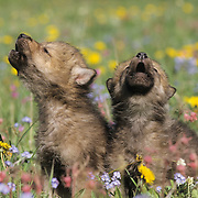 Gray Wolf (Canis lupus) pups in a field of wildflowers howling during spring in southwest Montana.  Captive Animal