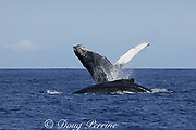humpback whale, Megaptera novaeangliae, breaching, Kona, Hawaii, caption must note photo was taken under NMFS research permit #587