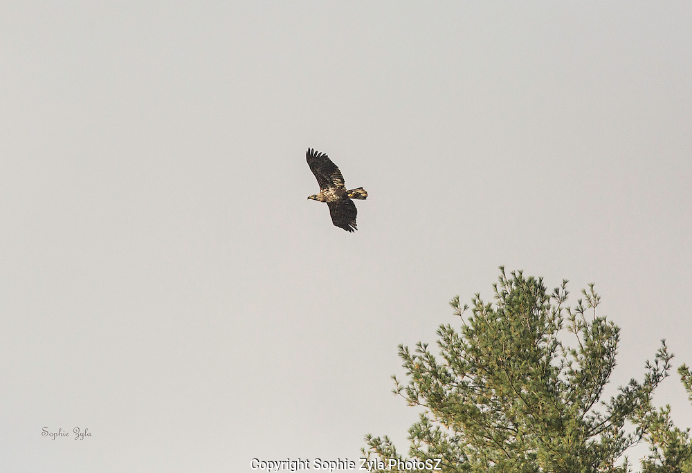 Juvenile Bald Eagle taking flight