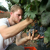 SETTLER'S BOUTIQUE WINE 2009...A Jewish settler picks Merlot grapes from the vineyard during the harvest of Tanya boutique winery in the West Bank Jewish settlement of Ofra, October 2009.