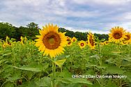 63801-11101 Sunflowers in field Jasper Co.  IL
