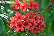 Red Rhodedendron