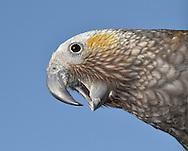 Kaka - Nestor meridionalis
