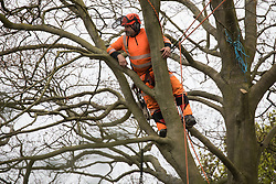 Wendover, UK. 28th April, 2021. A tree surgeon working on behalf of HS2 Ltd pauses during the felling of a tree for the HS2 high-speed rail link in ancient woodland at Jones Hill Wood in the Chilterns AONB. Felling of the woodland which contains resting places and/or breeding sites for pipistrelle, barbastelle, noctule, brown long-eared and natterer's bats has recommenced after a High Court judge yesterday refused campaigner Mark Keir permission to apply for judicial review and lifted an injunction on felling.
